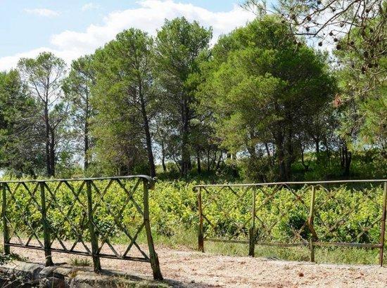 Ceps de vigne - Vignoble du Domaine de la Grande Sieste