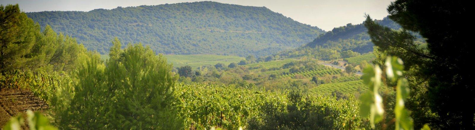 Paysage Vignoble de Cabrières © Olivier Diaz de Zarate