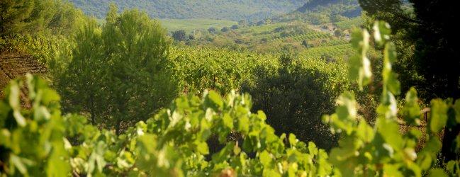 Paysage Vignoble de Cabrières