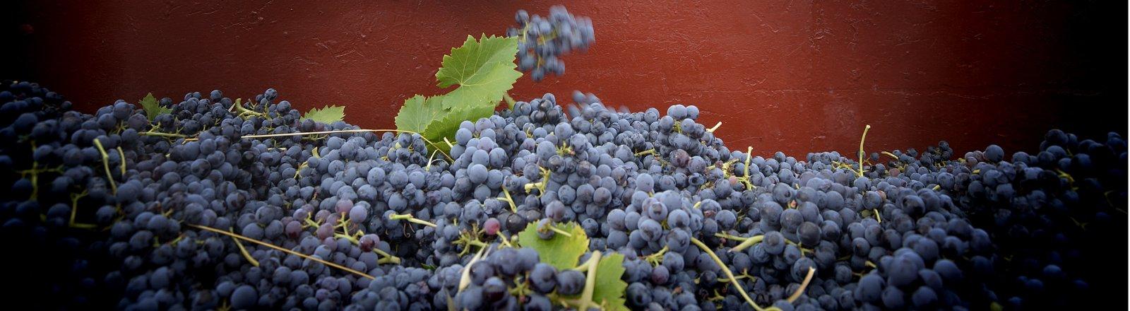 Vendanges à Montpeyroux - Travail de la vigne, raisins noirs – Castelbarry © Olivier Diaz de Zarate
