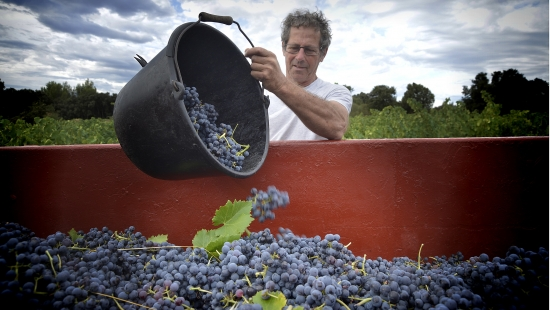 Vendanges à Montpeyroux - Travail de la vigne, raisins noirs – Castelbarry