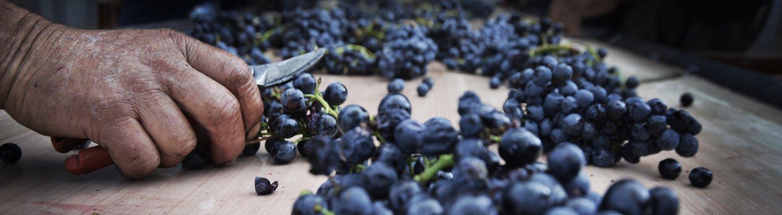 Travail de la vigne - Domaine de la Dourbie © Olivier Diaz de Zarate