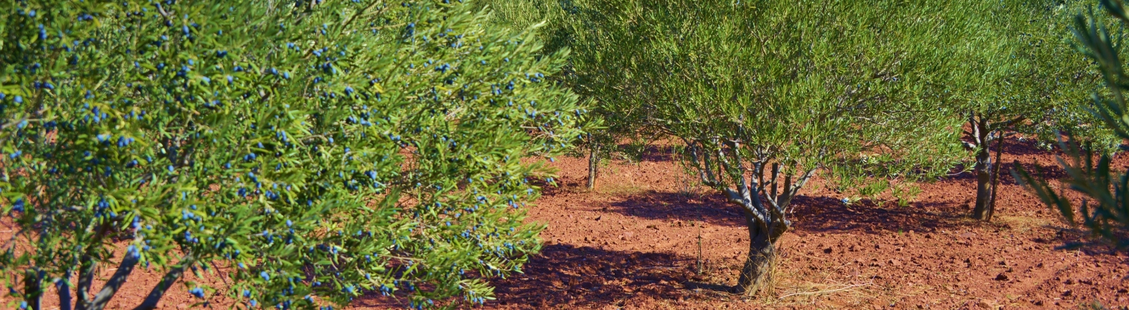 Les oliviers du Domaine Capitelle des Salles © Olivier Diaz de Zarate