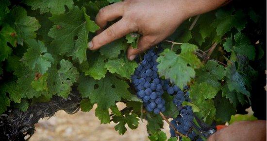 Grappe de raisins rouge sur un cep de vigne - les cépages dans les vins du Languedoc Cœur d'Hérault