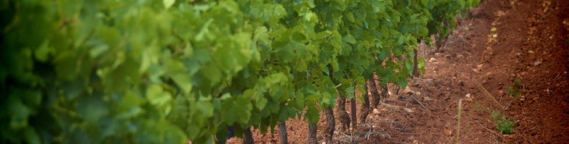 Paysage viticole de ruffes, typique du lac du Salagou et ses environs