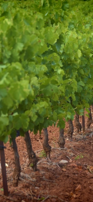 Paysage viticole de ruffes
