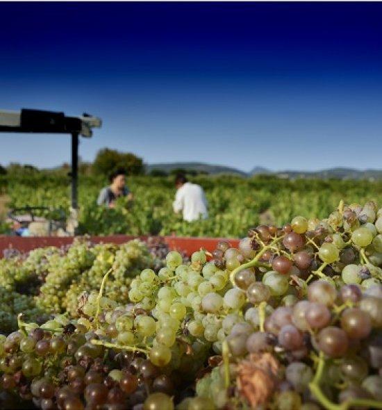 Vendanges manuelles en Languedoc Cœur d'Hérault – raisin blanc dans une benne de tracteur